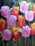 チューリップ早割♪そろい咲きチューリップデュオ・ファンシーフリル&ダベンポート10球セット【チューリップ】【球根】