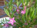 星咲きピンクの花♪サザンクロス・ピンク4号鉢植え【花苗】【鉢花】/販売/通販/種類星咲きピン...