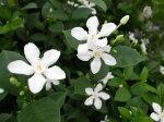 清楚な純白の花♪セイロンランティア5号鉢植え【鉢花】