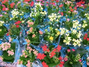 カランコエ ミリオンスター2.5号鉢3鉢セット 鉢花 販売 通販 種類カランコエ ミリオンスター2.5...