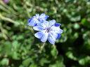 ブルーの花♪ブータンルリマツリ苗【花苗】【ルリマツリ】ブルーの花♪ブータンルリマツリ苗【...