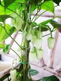 冬咲クレマチス・アンスンエンシス苗♪冬咲き品種で毎年楽しめます【花苗】【クレマチス】