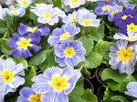 プリムラポリアンサ・センセーション3株セット♪今までにない花色が魅力/変わり咲の花色が魅力のポリアンサ/サクラソウ科/多年草