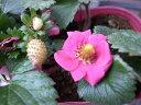 四季なりいちご ファーストラブ苗♪イチゴ いちご ピンクの花も魅力 花芽が付き 花苗 販売 通販...