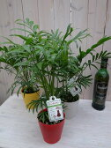 テーブル ヤシ カラー鉢植え4号 育てやすい室内 ヤシ観葉植物 ヤシの木 販売 通販 種類 ヤシ