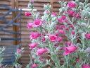 ピティロディア フェアリーピンク 花苗 ワンランク上の寄せ植えにシルバーリーフにピンクの花 ...