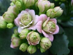 カランコエ ローズフラワーピンクパリ4号サイズ 鉢植え 最新品種 豪華な八重花が魅力 多年草 販...