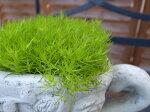 サギナイエローターフふわふわしたライムグリーンの葉が魅力で寄せ植えのワンポイントにも最適別名でアイリッシュモス販売通販種類