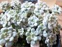 セダム ケープブランコ シルバーリーフ ハンギング、寄せ植えアイテムに最適 販売 通販 種類セ...