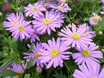 ブラキカムブラスコ風にそよぐ大輪の花が魅力♪暑さ寒さに強い最新品種花芽付販売通販種類