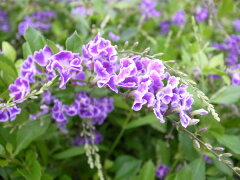 デュランタ 宝塚 4号サイズ 鉢植え 枝垂れるパープルの花が魅力で暑さに強く次々花を咲かせてく...