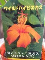 ワイルドハイビスカスセントジョニアヌス新しいタイプのハイビスカス花苗販売通販