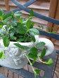 フィカス シャングリラ ガジュマル 観葉植物 ガジュマルの生態のありのままの姿を見ることができます幸福をもたらすといわれるガジュマル観葉植物 フィカス シャングリラ