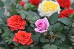 ミニバラ3.5号販促、景品等に人気!色とりどり♪【鉢花】【種類】