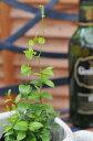 アスパラガス スマイラックス苗 観葉植物 販売 通販 種類 優しい緑の葉が魅力的 リーフプランツ...