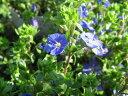 【ポイント10倍】ベロニカ オックスフォードブルー苗 花芽付き 多年草 ブルーの小花 毎年地を…