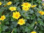 カメルーンデージー花苗暑さに強く夏のガーデニングに人気の花販売通販種類