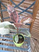 ゴムの木ベリーズ4号サイズ観葉植物色鮮やかな斑入り葉が面白い植物です鉢植え販売通販種類
