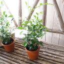シルクジャスミン 3.5号サイズ つやつやした丸葉が可愛らしい観葉植物。丈夫で花も実も楽しめま...