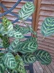 カラテア・マコヤナ4号鉢植え♪不思議な葉/観葉植物/常緑多年草/淡黄緑色地に濃緑色の斑紋模様が矢羽根状に入る大変美しい観葉です。【RCP1209mara】