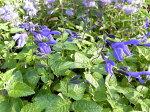 メドーセージ色鮮やかなブルーが魅力で寄せ植えやガーデニングに花芽付き花苗販売通販種類