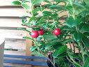 花芽付リンゴンベリー 赤い実 ジャムやジュースに最適 ビタミンEが多く含まれビタミンCは天然ベ...