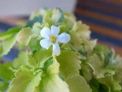 バコパ ライムバリエガータ 花だけでなくライム色の葉色も楽しめるバコバで寄せ植えアイテムに 花…