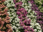 スウィートアリッサム3色セットカラフルな花色が魅力で寄せ植えやハンギングに人気の花販売通販種類