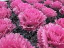 葉牡丹 ハボタン ファルダノエル バラのようなフリル感が魅力的なハボタン 花苗 販売 通販 種類...