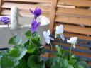 ニオイスミレ 3株セット 甘い香りが漂う可憐な花で寄せ植えハンギングにも最適 スミレ 宿根草 ...