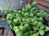 グリーンネックレス 多肉植物 観葉植物 販売 通販 種類 多肉女子