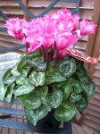 シクラメンピエノローザ5号サイズ鉢植え実の覚めるようなピンクの複色咲が魅力の人気品種シクラメン鉢花販売通販種類