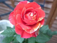ミニバラ ホーカスポーカス3.5号サイズ 鉢植え ビビッドな複色咲 30cm 鉢花 販売 通販 種類【ポ...