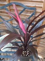 コルジリネTアイチアカ4号サイズ鉢植え観葉植物コルディリネリュウゼツラン科販売通販種類