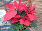 ポインセチア赤4号サイズ鉢植えクリスマスを飾る華やかなレッド販売通販種類