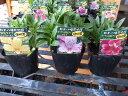 アルストロメリア3株セット 多年草(球根)切り花としても人気 花苗 販売 通販 種類