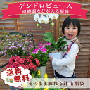 デンドロビューム 胡蝶蘭などが入る季節の鉢花 福袋 鉢植えセ...