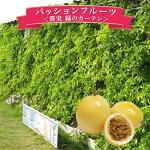黄実のパッションフルーツ大株緑のカーテングリーンカーテン節電対策に販売通販種類