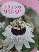 トケイソウパンダ花苗ワンランク上のグリーンカーテンにさまざまな花を楽しめる時計草販売通販種類