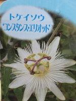 トケイソウコンスタンスエリオット花苗ワンランク上のグリーンカーテンにさまざまな花を楽しめる時計草販売通販種類