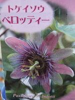 トケイソウベロッティー花苗ワンランク上のグリーンカーテンにさまざまな花を楽しめる時計草販売通販種類
