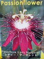 トケイソウレディーマーガレット花苗ワンランク上のグリーンカーテンにさまざまな花を楽しめる時計草販売通販種類