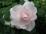八重咲きインパチェンスシルエットアップルブロッサム花苗販売通販種類
