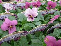 ビオラプラスきまぐれロージー3株セット花苗淡いピンクからローズへと花色の変化が楽しめるビオラビオラとパンジーの中間程の花径です販売通販種類