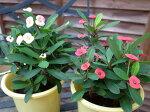 花キリン4号サイズ2色セットキリンのように伸び丸みを帯びた花を咲かせてくれる植物鉢植えで高さ30cm販売通販種類