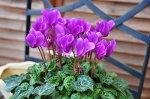 ブルーシクラメンセレナーディア5号サイズ鉢植え珍しい花色サントリー開発のブルーシクラメン/販売/通販/種類