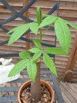 パキラ4号サイズ鉢植え観葉植物販売通販種類