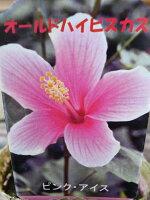 オールドハイビスカスピンクアイス素朴な花が魅力花苗販売通販種類
