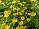 メカルドニア枝垂れるように咲く黄色の小花販売通販種類父の日ギフト