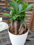 ニンジンガジュマル4号サイズ鉢植え沖縄の精霊キジムナーが宿るとされる不思議な木販売通販種類観葉植物